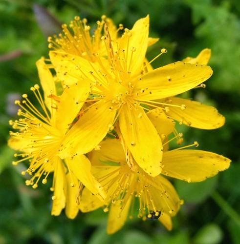 Floral de Agrimony