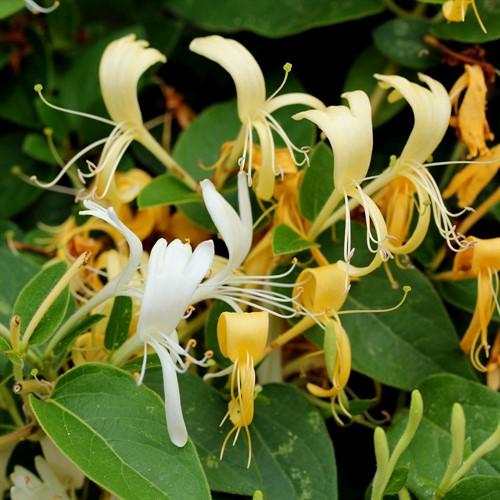 Floral de Honeysuckle