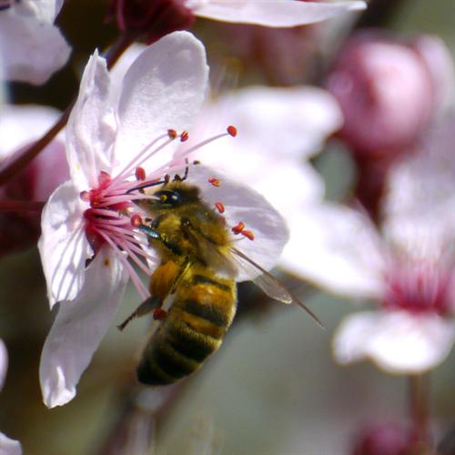 Floral de Cherry Plum