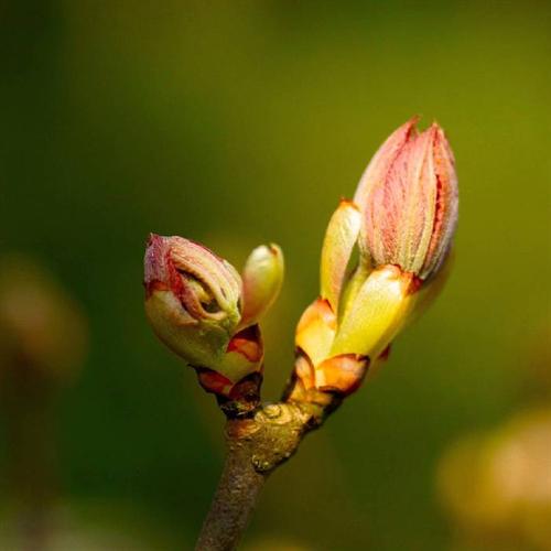 Floral de Chestnut Bud