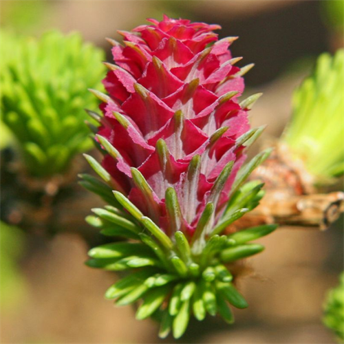 Floral de Larch