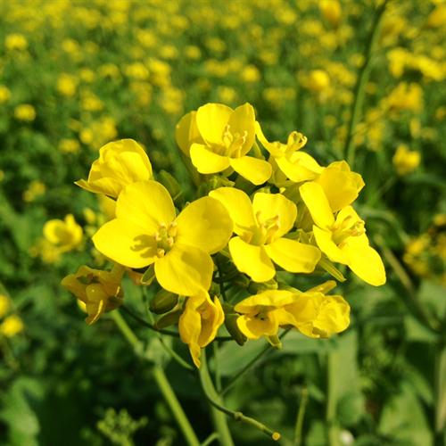 Floral de Mustard