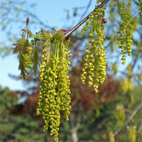 Floral de Oak