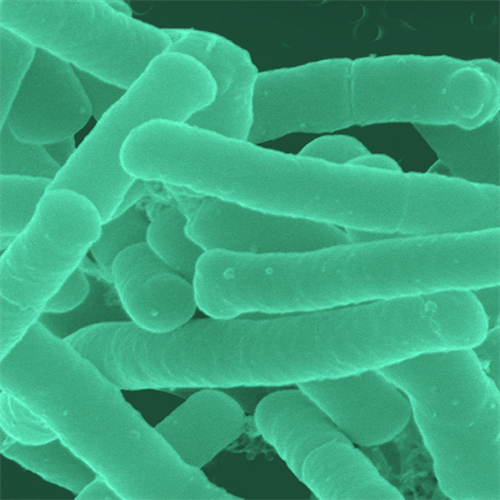 Lactobacillus Paracasei - 1 bilhão 30 cápsulas