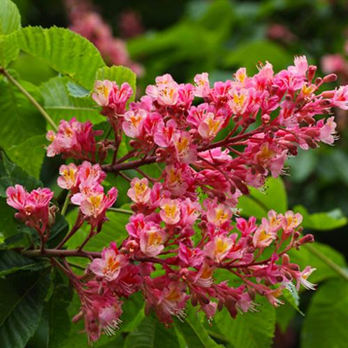 Floral de Red Chestnut