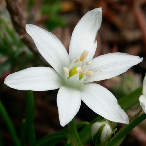Floral de Star of Bethlehem