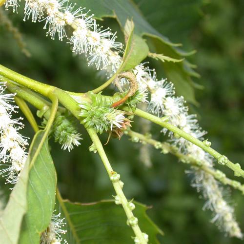 Floral de Sweet Chestnut
