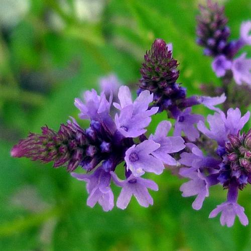 Floral de Vervain