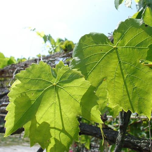 Floral de Vine