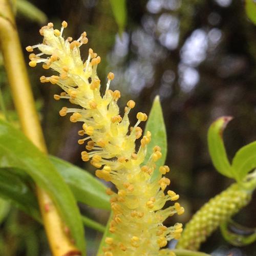 Floral de Willow