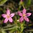 Floral de Centaury