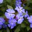 Floral de Cerato