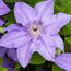 Floral de Clematis