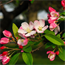 Floral de Crab Apple