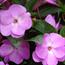 Floral de Impatiens
