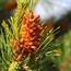 Floral de Pine