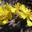 Floral de Rock Rose