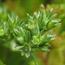 Floral de Scleranthus