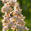 Floral de White Chestnut
