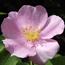 Floral de Wild Rose