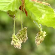 Floral de Beech