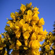 Floral de Gorse