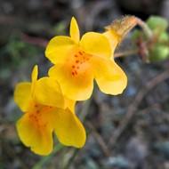 Floral de Mimulus