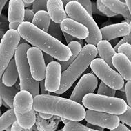Lactobacillus Rhamnosus - 1 bilhão 30 cápsulas
