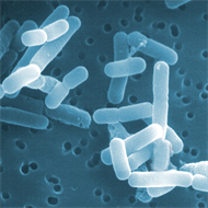 Lactobacillus Reuteri - 1 bilhão 30 cápsulas
