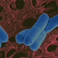 Lactobacillus Salivarius - 1 bilhão 30 cápsulas