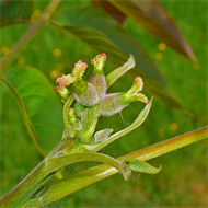 Floral de Walnut