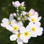 Floral de Water Violet