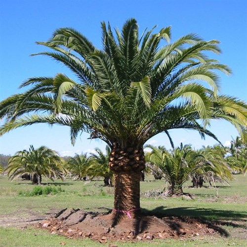 Canariensis