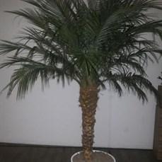 Palmeira Phoenix