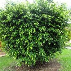 Ficus com 1,5m