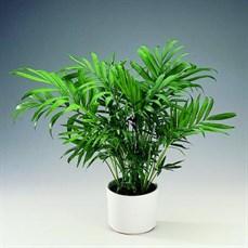 Palmeira Chamaedorea