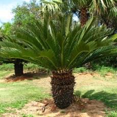 Palmeira Cica Revoluta