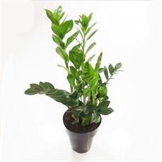 Plantas ornamentais planta e arte paisagismo for Planta ornamental zamia