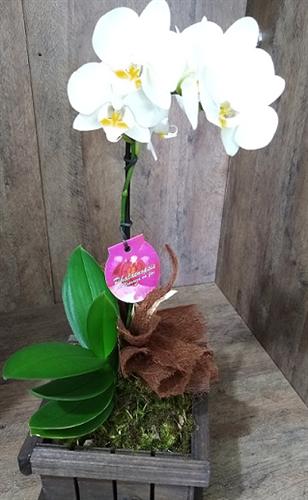 Mini Orquídea Phalaenopsis