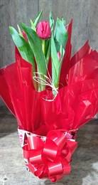 MEGA PROMOÇÃO - Vaso de Tulipa