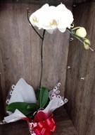 Mega Promoção da semana - Linda Orquídea Phalaenopsis Branca
