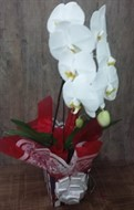Linda Orquídea Cascata