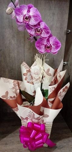 Orquídea Phalaenopsis - CORES VARIADAS