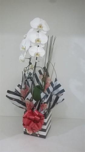 Orquídea Phalaenopsis Cascata - Branca
