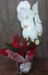 MEGA PROMOÇÃO - Linda Orquídea Cascata